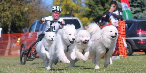 Kutyafogathajtó verseny Magyarpolányban